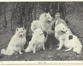 Samoyed Dog Print Arctic Sled Dog 1935 Canine Print Dog Art Wall Art Home Decor Vintage Print