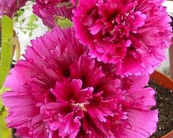 PBH) QUEENIE PURPLE Hollyhock~Seed!!!~~~~~3' Tall & Wine Red!