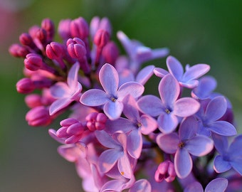 TSL) LAVENDER LILAC~Seeds!!!!!!~~~~~~~The Most Fragrant I Own!!