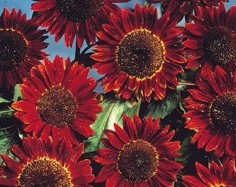 ASU)~RED SUN Sunflower~Seeds!!~~~~~~Sunflower Excellence!!