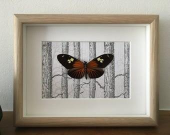 Framed Burney's Longwing Butterfly