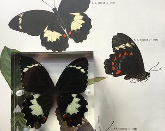 Orchard butterfly (papilio aegeus)