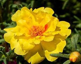Moss Rose-  Yellow- Portulaca - 200 Seeds