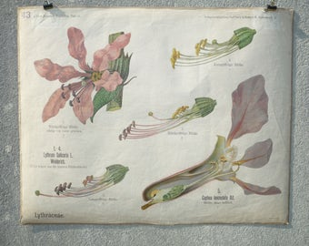 Rare antique German Botanical School Wall Chart Biology, Botany botanische Flower Plant Anatomy CIRCA 1910 A PETER Berlin Lytraceae lythrum