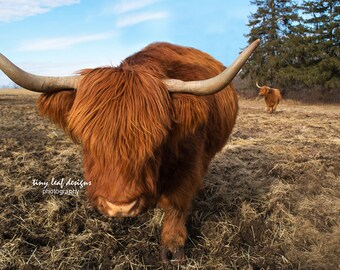 Scottish Highlander Original Photography