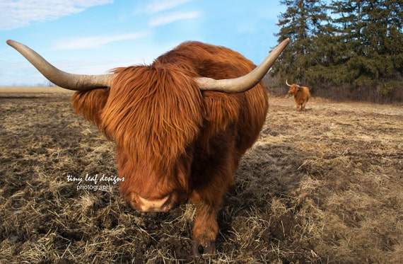 Scottish Highlander Original Photography