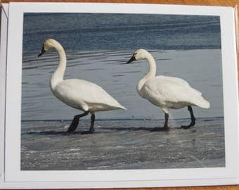 Tundra swans on ice photo note card