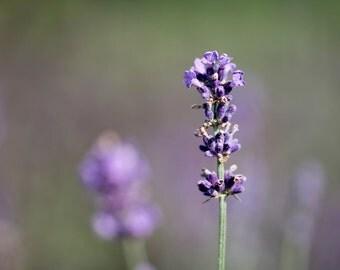 Nature photography print 'Lavender Landscape' - Lavender print - purple wall art - bokeh photo - lavender photography - nature print