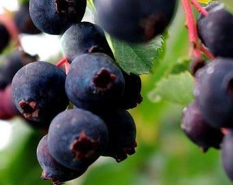 Saskatoon Serviceberry Bush Seeds (Amelanchier alnifolia Smokey) 40+Seeds