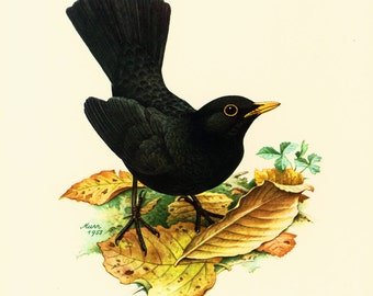 1969 Common Blackbird, vintage Bird Print, Ornithology, nature wall art