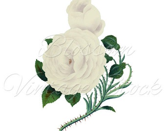 ROSE Clipart, White Rose png Digital Image Botanical Prints,  Clipart- INSTANT DOWNLOAD, Printables - 1918