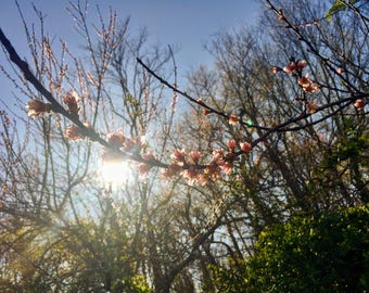 Cherry Blossom Tree, Sunlight Through Trees, Maryland, Digital Photography, Digital Download