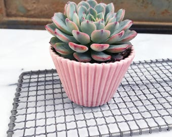 pink chocolate raspberry succulent cupcake
