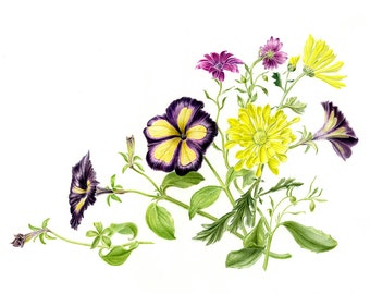 Limited edition Giclee Print of 'Sunny Days', a watercolour of Petunias, Chrysanthemums and Osteospermums found in my garden