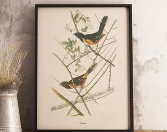 Towhee Print:INSTANT DIGITAL DOWNLOAD Bird print, Antique Bird Painting