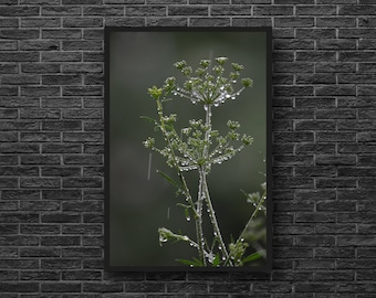Queen Anne's Lace - Botanical Print - Plant Photo - Wild Grass - Green - Nature Photo - Vertical - Nature Wall Art - Botanical Wall Decor