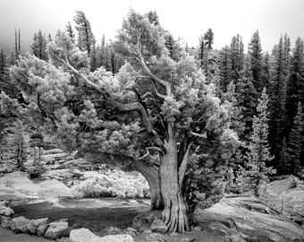 Mariposa in Yosemite Photograph, Yosemite National Park, Black and White Photography, Wall Art, Rustic Home Decor, Tree Photo, For Cabin