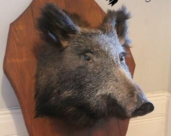 WIld Boar Mount Taxidermy