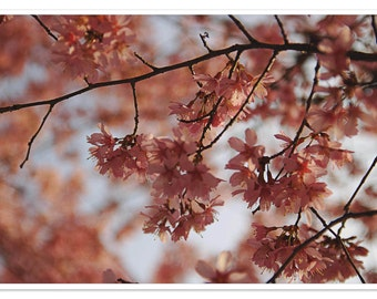 Nature Photography - Cherry Blossom, Fine Art Photography, Digital Download Full Resolution 13x20in (34x51cm)x300dpi JPEG