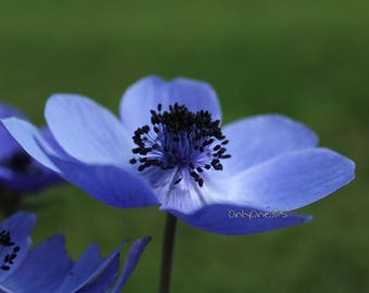 An Anemone in my little French garden