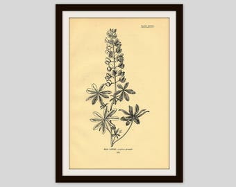 "Antique Botanical Illustration, Flower Print, 5"" x 7.75"", Vintage Floral Wall Art, Rustic Cabin Cottage Decor, Wildflower, Wild Lupine (287)"