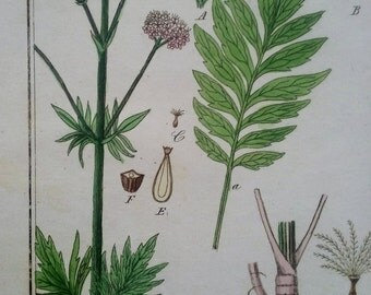 Valerian Herb Botanical Print 1850, Winkler, Original Hand Colored Engraving, Valeriana officinalis Print