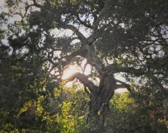 Sunshine & Tree Photography, California Live Oak, Tree and Light, Nature Art, Live Oak Art Woodland Photo, Trabuco Canyon, California Nature