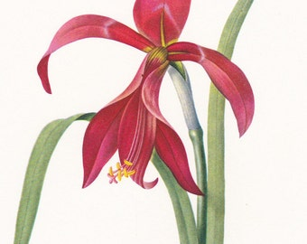 amaryllis red flower vintage botanical print gardening gift by Pierre-Joseph Redouté  7 x 9.25 inches