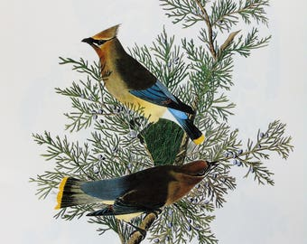 Vintage Audubon Bird Print - Cedar Waxwing - 1970s Large Book Plate, Colour Bird Print