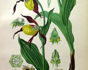 1886 antique color lithograph print of orchids, original vintage botanical flower PLANT engraving, lady slipper plate.