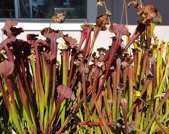 5 unlabeled Carnivorous plant Sarracenia bare root dorment rhizome