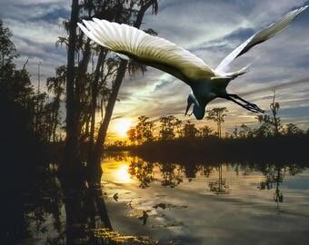 Great American Egret flying towards sunset.