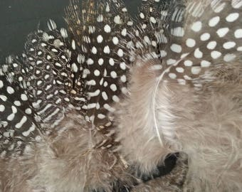Feathers of Guinea fowl on satin ribbon