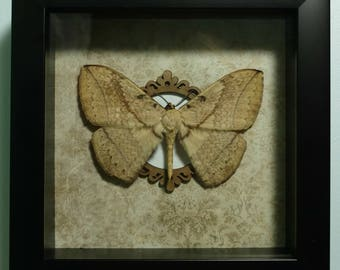 REAL Framed Monkey Moth (Sphingognatha) from SE Asia