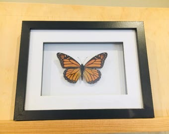 Real monarch butterfly in black and white shadowbox frame.