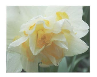 Soft Yellow Daffodil - Canvas Gallery Wall Art - 8 x 10, 16 x 20, 24 x 36
