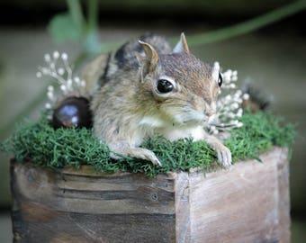 Chipmunk Taxidermy Mount in Natural Habitat