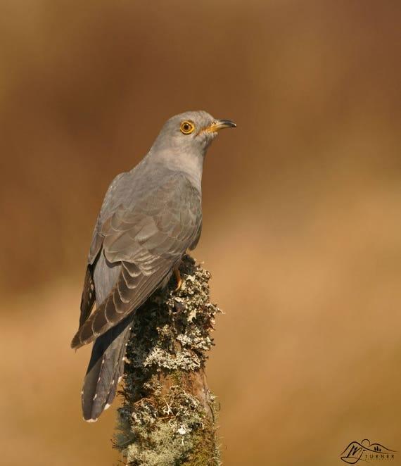 Cuckoo [Photographic Print]