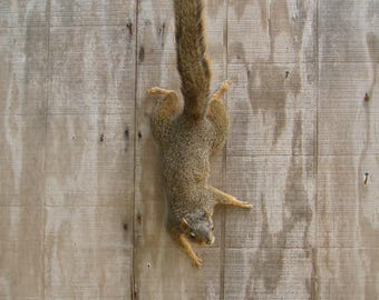 Fox Squirrel Climbing Down Free Style - Mount - Taxidermy