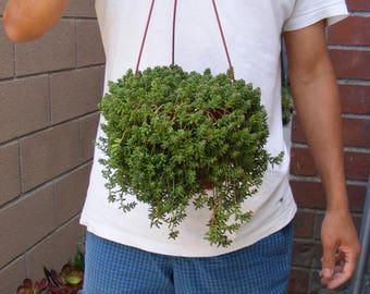 Sedum Succulent 5 inch hanging pot