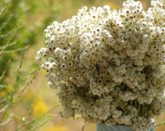 Pearly Everlasting (Real, Dried) LARGE Bundle Bouquet - Floral Arrangement for Centerpieces, Home Decor - Lasts Forever!