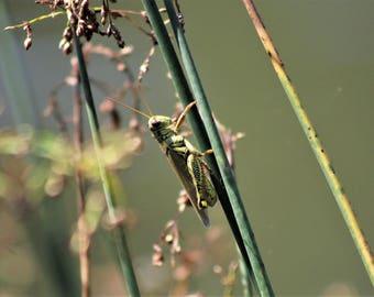 It's a Grasshopper