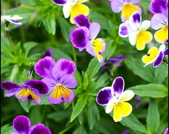 Wild Pansy, Viola Tricolor, Johnny Jump up 100 Seeds