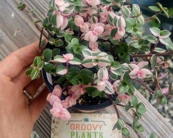 Callisia repens 'Bianca' | Pink Rare Succulent