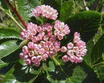 5 Seeds Sorbus chamaemespilus