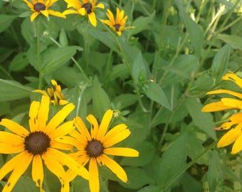 Black Eyed Susan Seeds; Rudbeckia Seeds; Yellow Wildflower Seeds; Native Wildflower Seeds; Perennial Seeds; Butterfly Garden Seeds