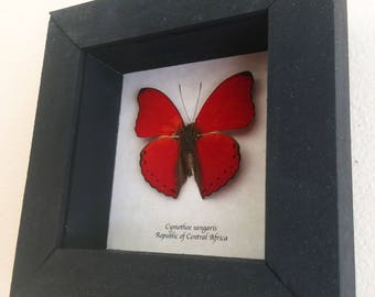 Real red butterfly framed - Cymothoe sangaris