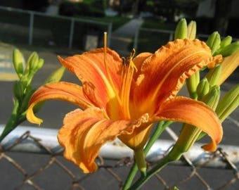 25 Wild Day Lily Bulbs (Root System) (HEMEROCALLIS FULVA)
