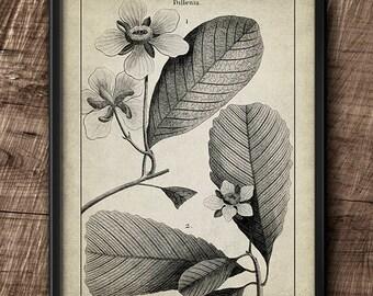 Dillenia · Instant Download · Botanical · Vintage · Wall · Printable · Digital File #73