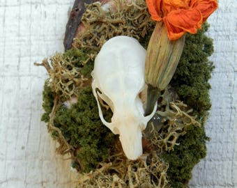 Real Hanging Rat Skull Display